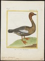 Branta magellanica - 1700-1880 - Print - Iconographia Zoologica - Special Collections University of Amsterdam - UBA01 IZ17600193.tif