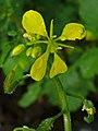 Brassica nigra 002.JPG