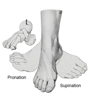 Pronation of the foot Type of foot movement