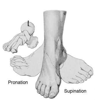Pronation of the foot - An illustration of pronation and supination of the foot from an anatomy textbook