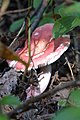 Brittlegill (Russula sp.) - Algonquin Provincial Park, Ontario.jpg