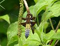 Broad-bodied Chaser. Libellula depressa - Flickr - gailhampshire (11).jpg