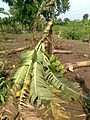 Broken banana tree in storm.jpg