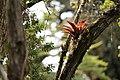Bromeliaceae y vegetacion de Bosque Tropical en Costa Rica 02.jpg
