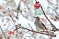 Brown-eared bulbul of Aoba-ku; 2013.jpg