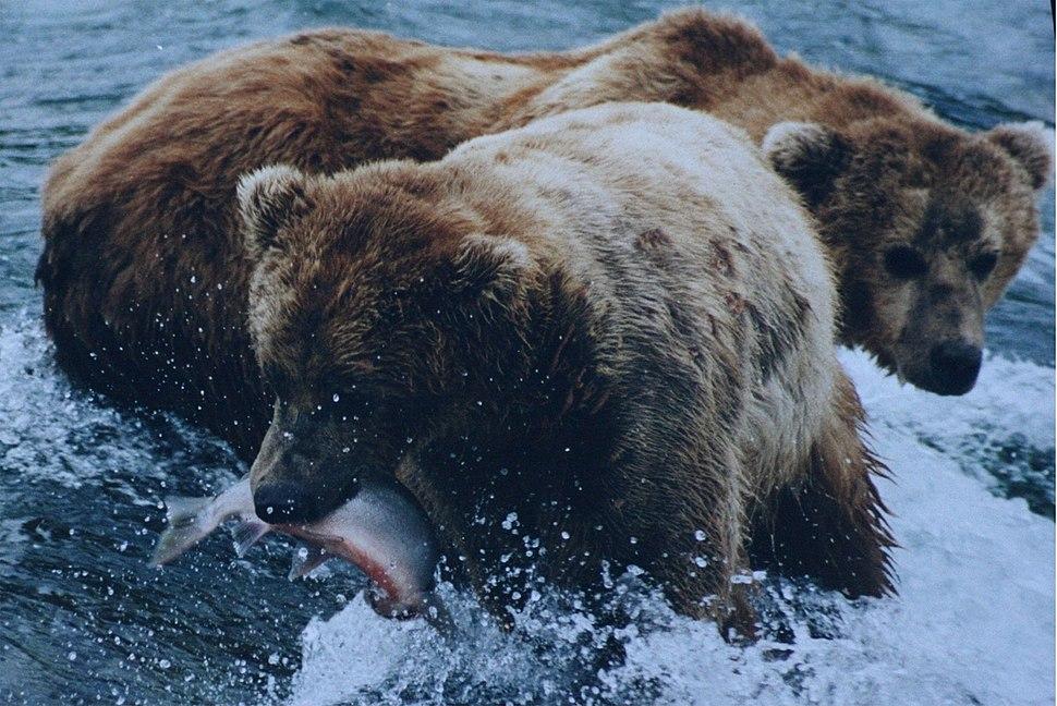 Brown bears salmon