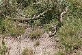 Brown snake - victoria australia03.jpg