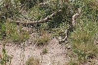 Brown snake - victoria australia03