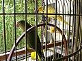 Bucuresti, Romania. Papagalii mei (Sasa Vtaroi (cel verde, este fetita) si Raisu Zalato (cel galben, este baiat).jpg