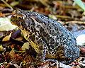 Bufo americanus Toad.JPG