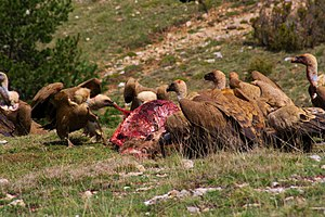 Griffon vulture - Griffon vultures eating the carcass of a red deer in the Pyrenees (Spain).