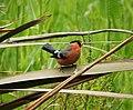 Bullfinch male Pyrrhula pyrrhula (38359562164).jpg