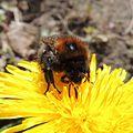 Bumblebee (Bombus hypnorum) on a dandelion, Sandy, Bedfordshire (8693092185).jpg