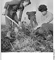 Bundesarchiv Bild 183-69304-0001, LPG Gronßen, Anlegen eines Windschutzstreifens.jpg