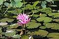 Bunga Teratai.jpg