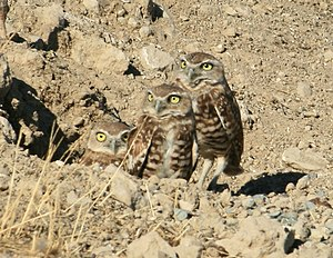Stevens Creek (California) - Western Burrowing Owls