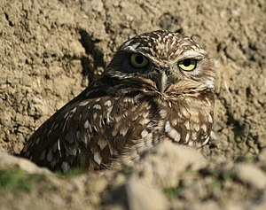 Antioch, California - Threatened burrowing owl, Antioch, California