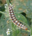 Butterfly Caterpillar - Flickr - gailhampshire (1).jpg