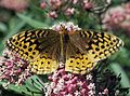 Butterfly spangled fritillary.jpg