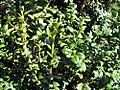 Buxus sempervirens heinrich bruns 1zz.jpg