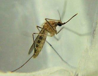 Culex - Culex pipiens, female