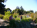 Cabrillo College, Salvia garden-01.jpg