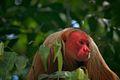 Cacajao calvus Amazonia 3.jpg