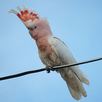 Major Mitchell's cockatoo - With crest raised in Queensland, Australia