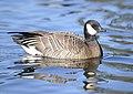 Cackling Goose 02.jpg