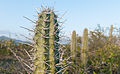 Cactus in Margarita Island.jpg
