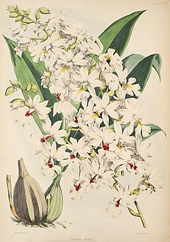 Calanthe vestita - Warner, Williams - Select orch. plants 1, pl. 29 (1862-1865).jpg