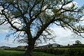 Caldecott - Solitary Oak.jpg