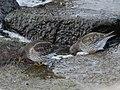 Calidris maritima (26746171228).jpg