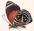 Callicore titania (male underside).png