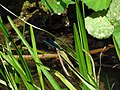 Calopteryx IMG 5509.jpg