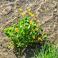 Caltha palustris at Lac de Tavaneuse (1).jpg