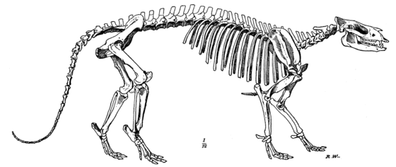 Cambridge Natural History Mammalia Fig 110.png