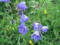 Campanula rotundifolia.jpg