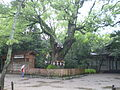 Camphor tree at Atsuta Shrine, Nagoya.jpg