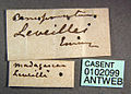 Camponotus leveillei casent0102099 label 1.jpg