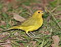Canário da terra verdadeiro Saffron Finch (Sicalis flaveola) (3792704356).jpg