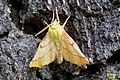Canary-shouldered thorn (SG) (15607882932).jpg