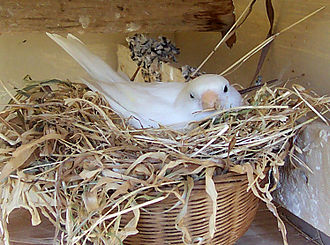 Domestic canary - A white canary nesting