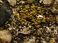Candelariella aurella 102375971.jpg