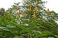 Candlebush (Senna alata) invasive species from Mexico ... (23007468340).jpg