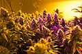 Cannabis in a grow house in Denver, Colorado.jpg