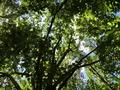 Canopy in Gwynns Falls - Leakin Park.png