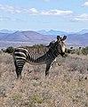 Cape Mountain Zebra (Equus zebra zebra) (32398364282).jpg