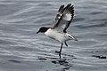 Cape Petrel (19920685822).jpg