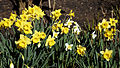 Capel Manor Gardens Enfield London England - Daffodils 06.jpg